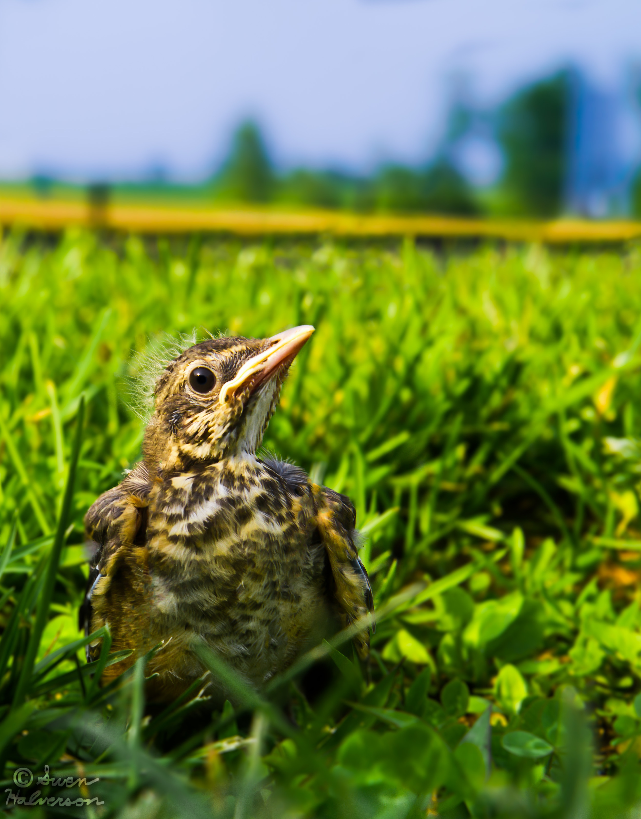 Theme: Small <br>Title: The Meadow Lark