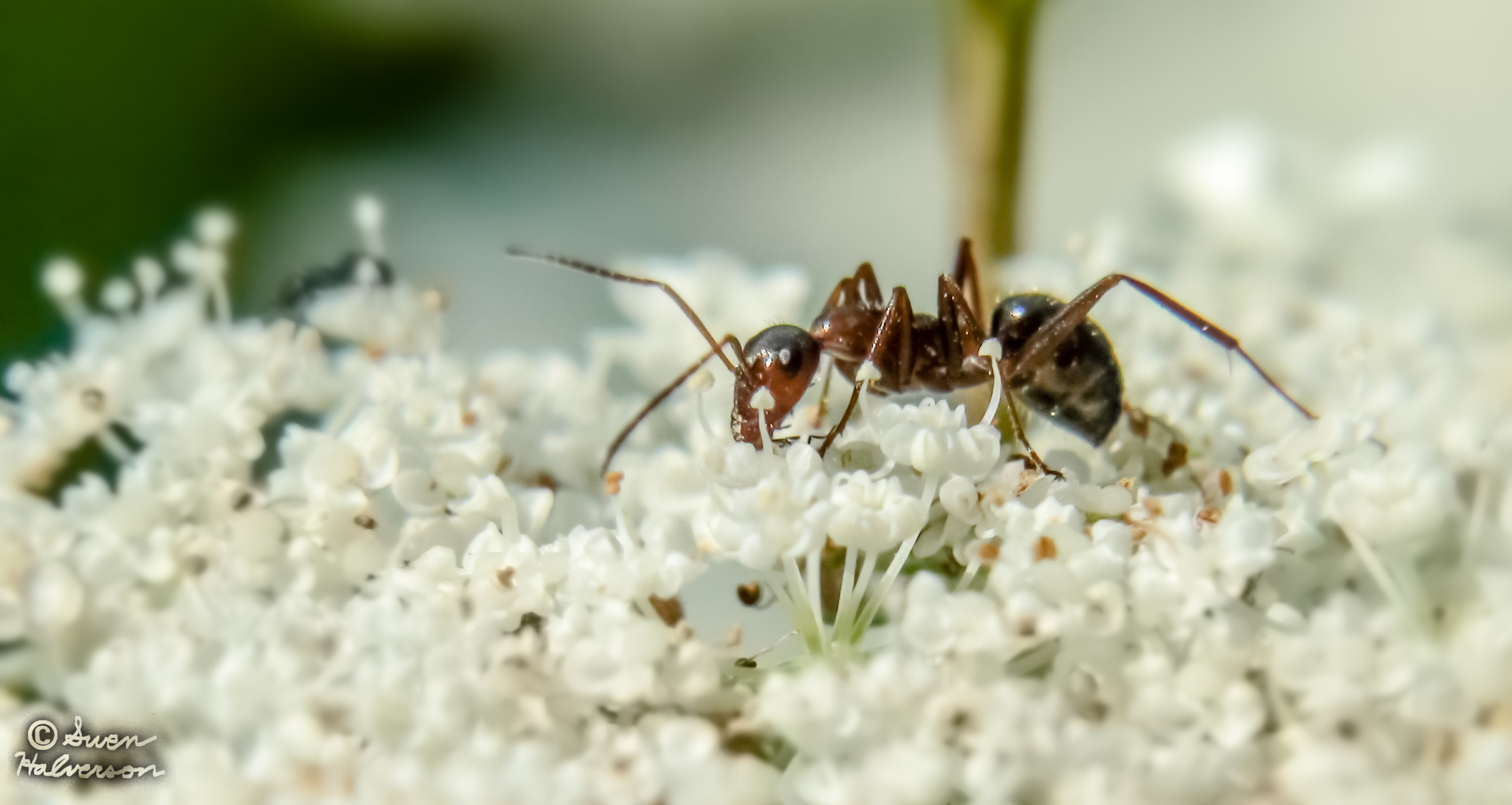 Theme: Ant  <br>Title: Ant 1