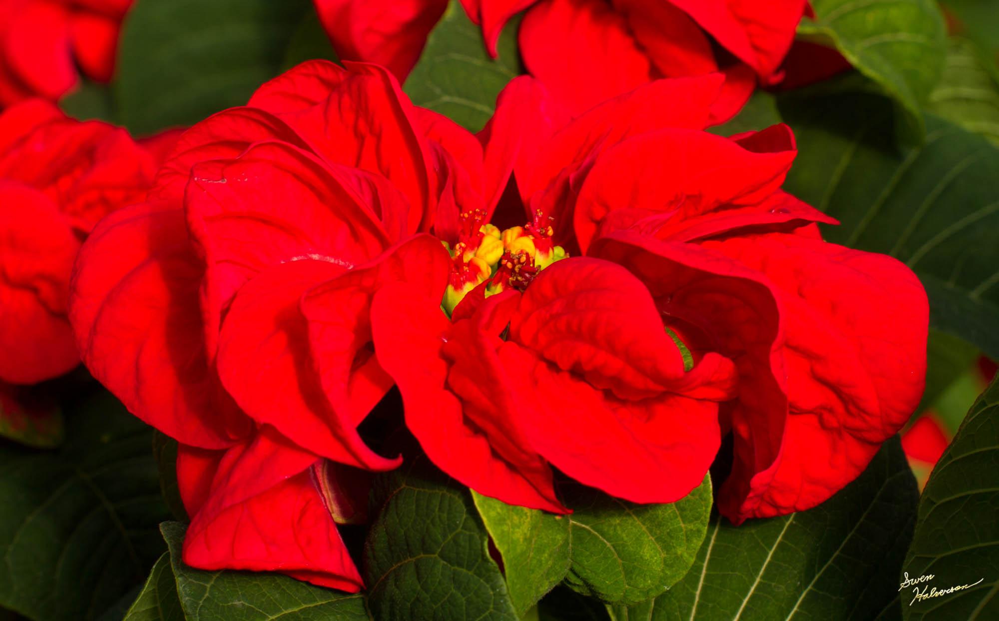 Theme:Poinsettia| Title: Winter Rose