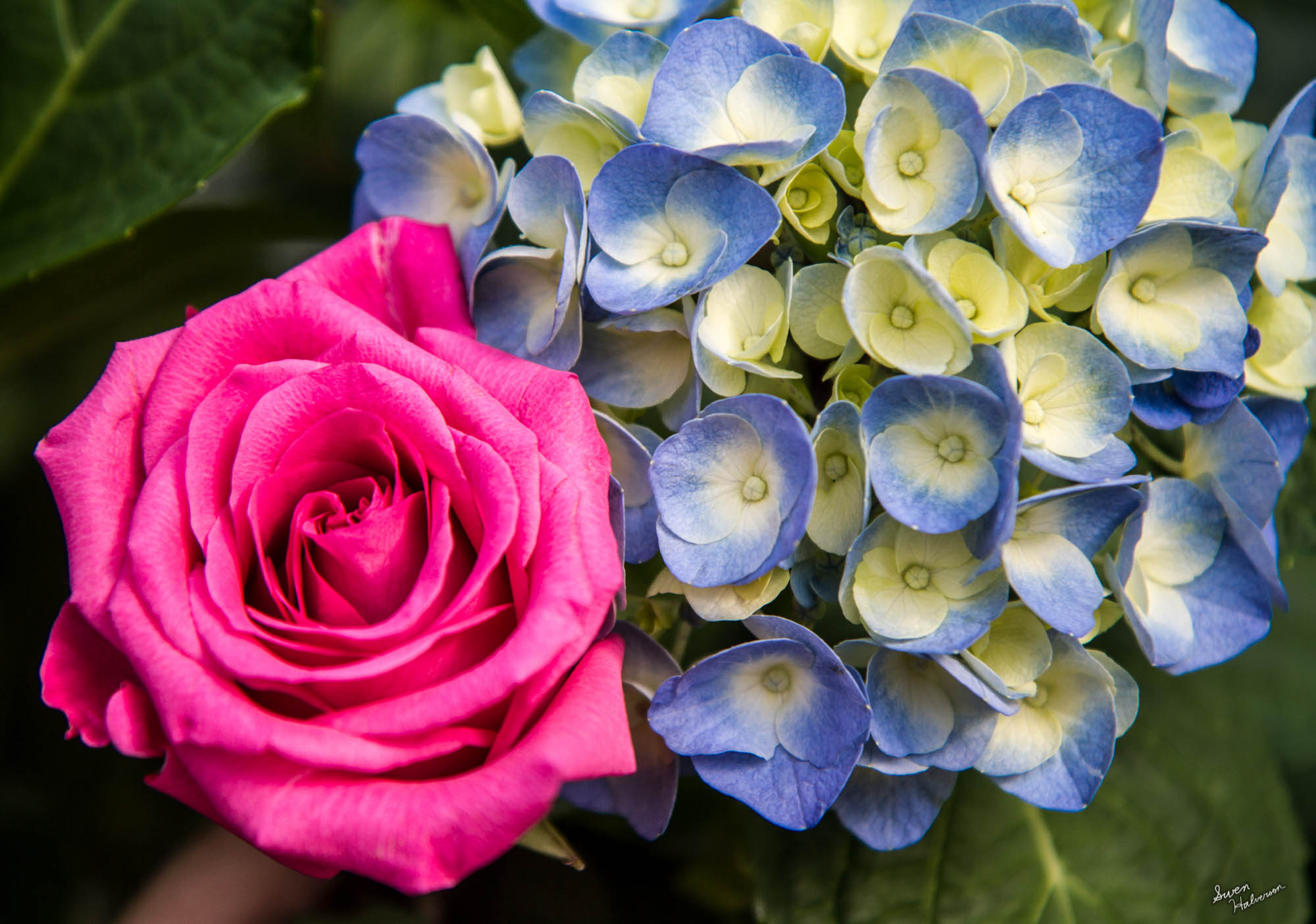 Theme: Mothers Day Title: A Rose And Hydrangea