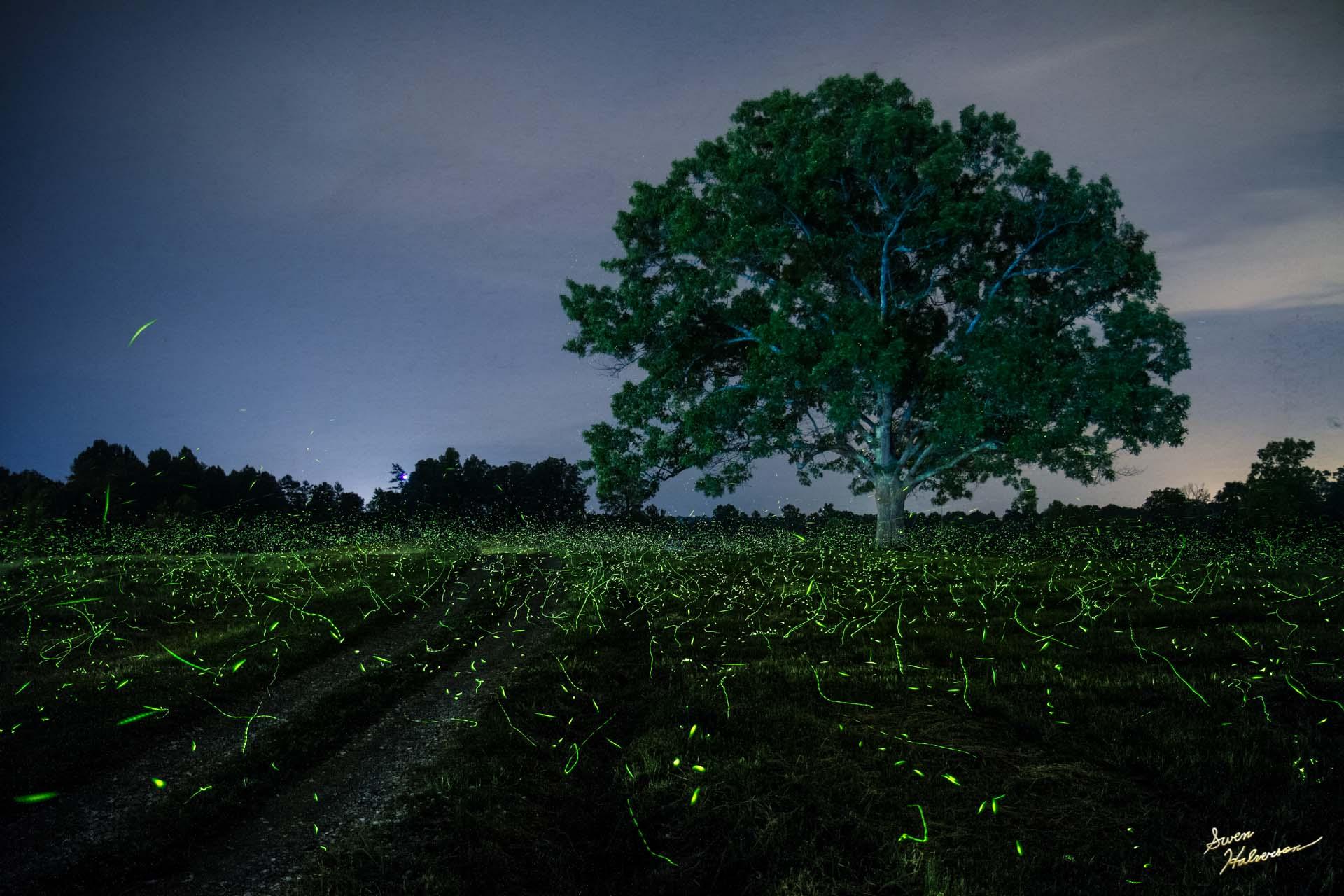 Theme: Fireflies | Title: Fireflies At The Oak Tree