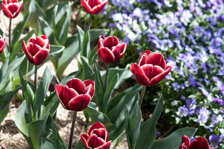 Tulip Top | netherleigh.co