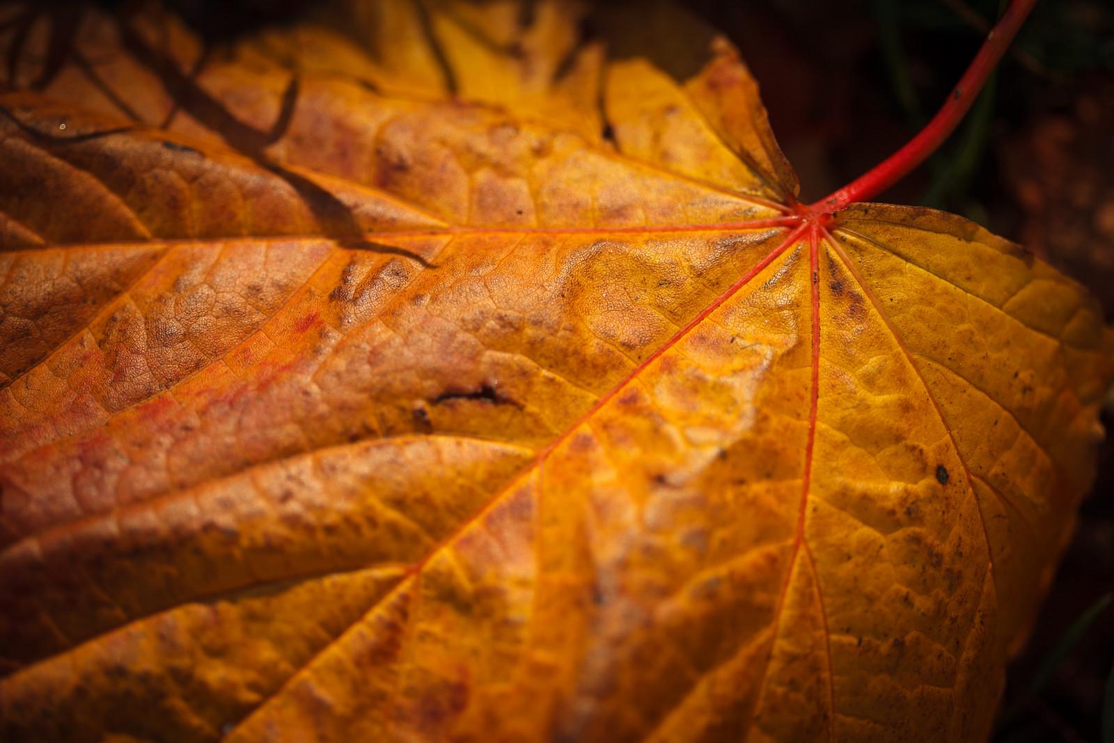 Autumn Leaves Macro Shots Thomas Fitzgerald Photography