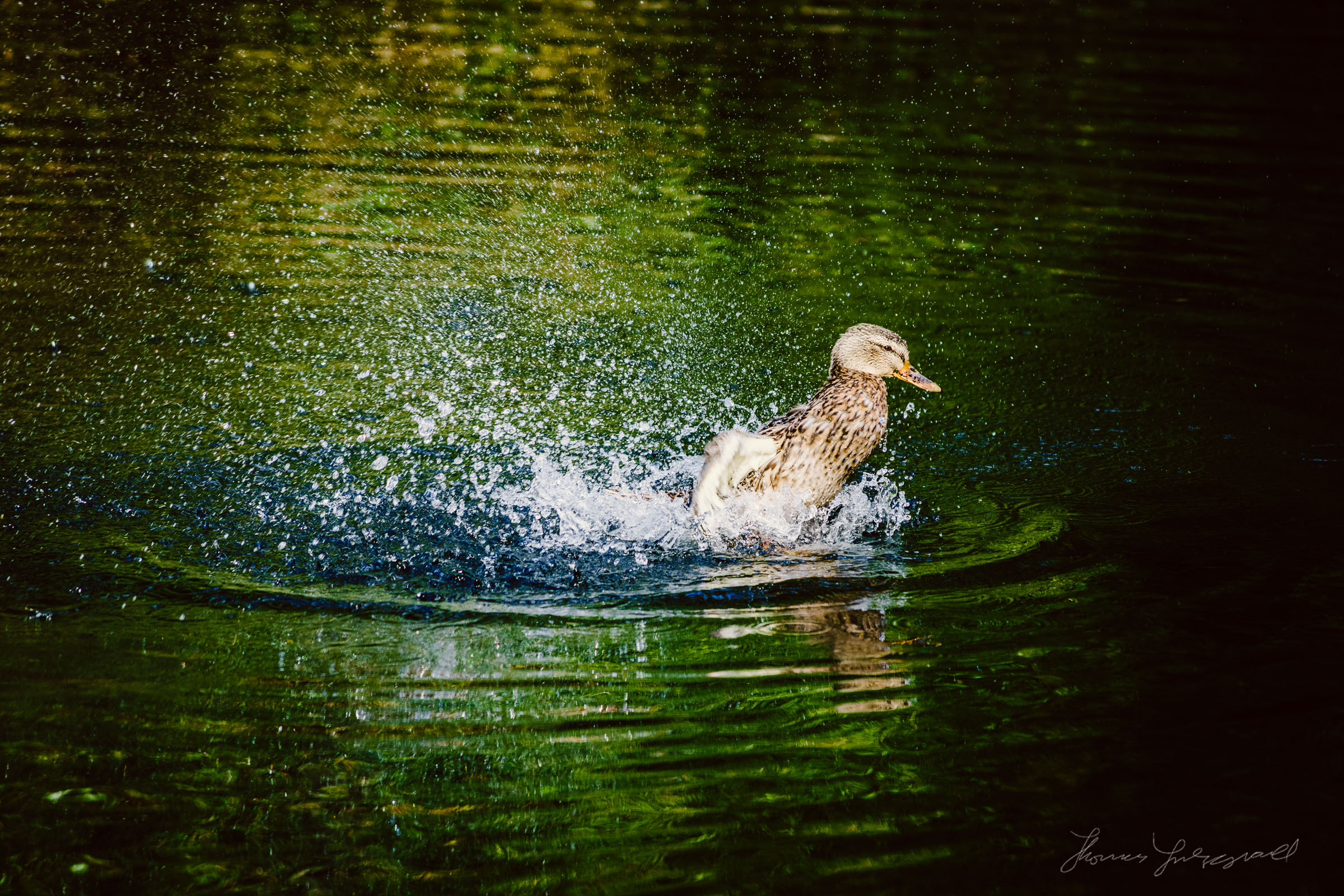 Duck in action on the water, Marley Park, Dublin