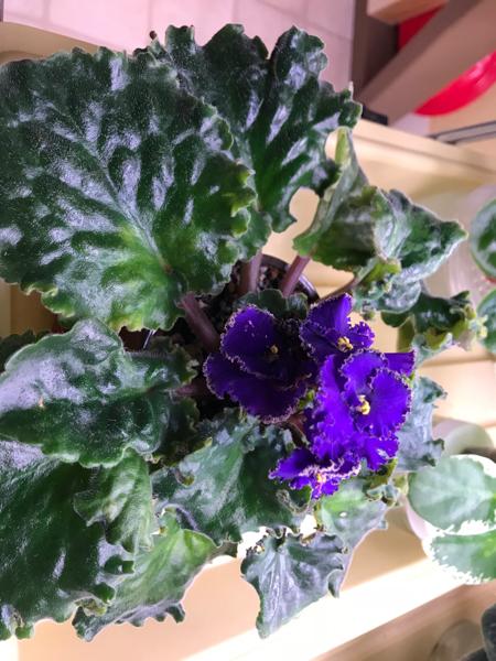 Deep purple African Violet