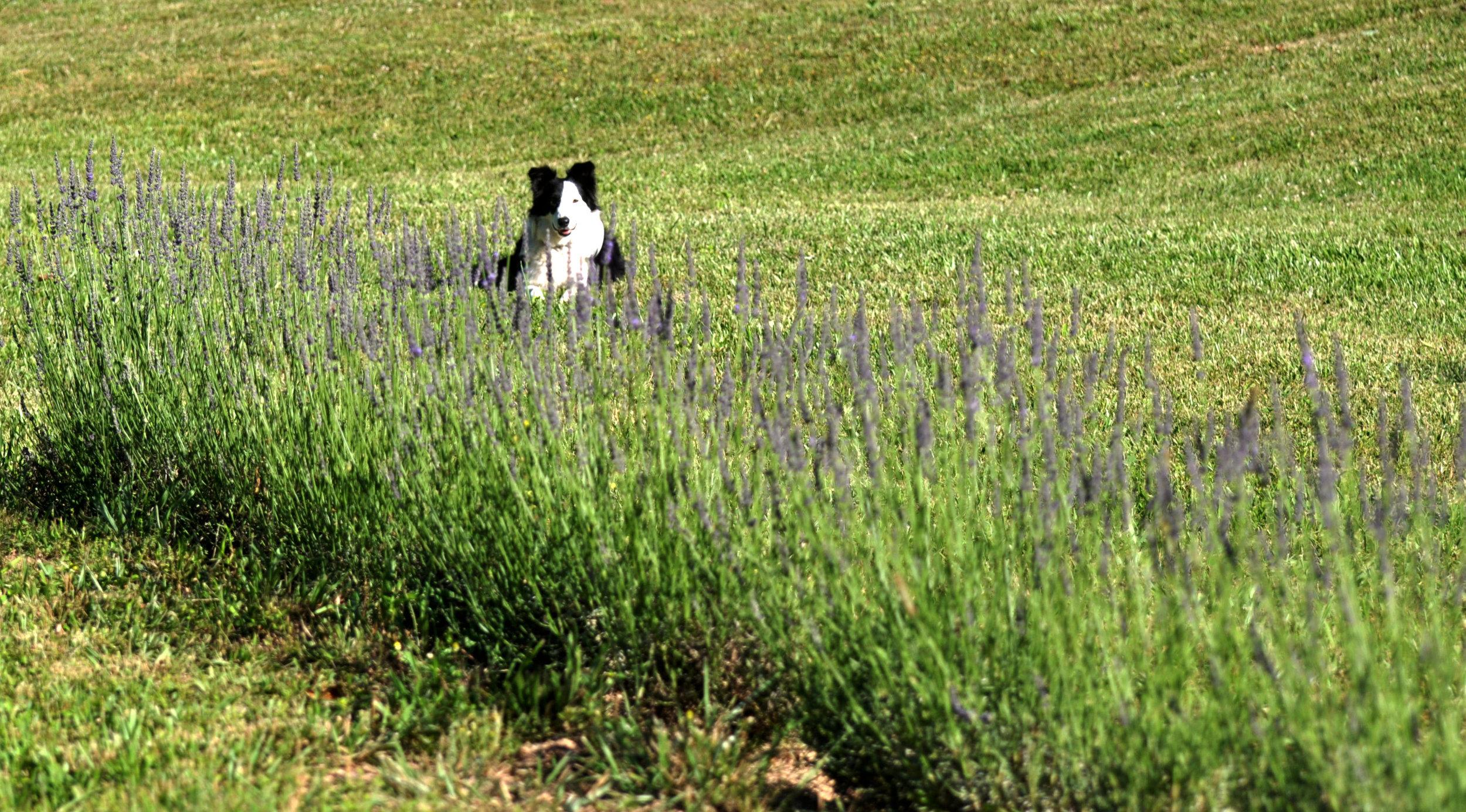 Woolf Lavender Farm