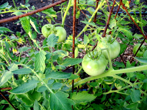 Tomatoes are part of summer at Elm Street Gardens.