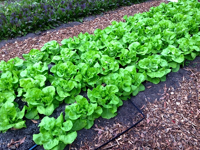 Butterhead lettuces grow beautifully in the winter in hoop houses.