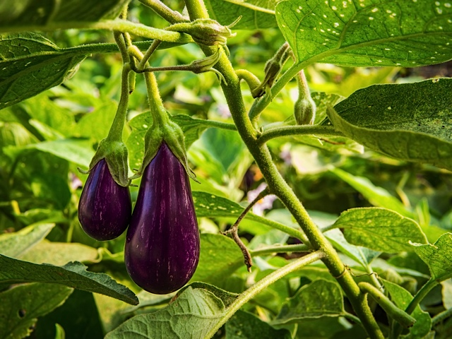 Beautiful eggplant are another important summer crop.