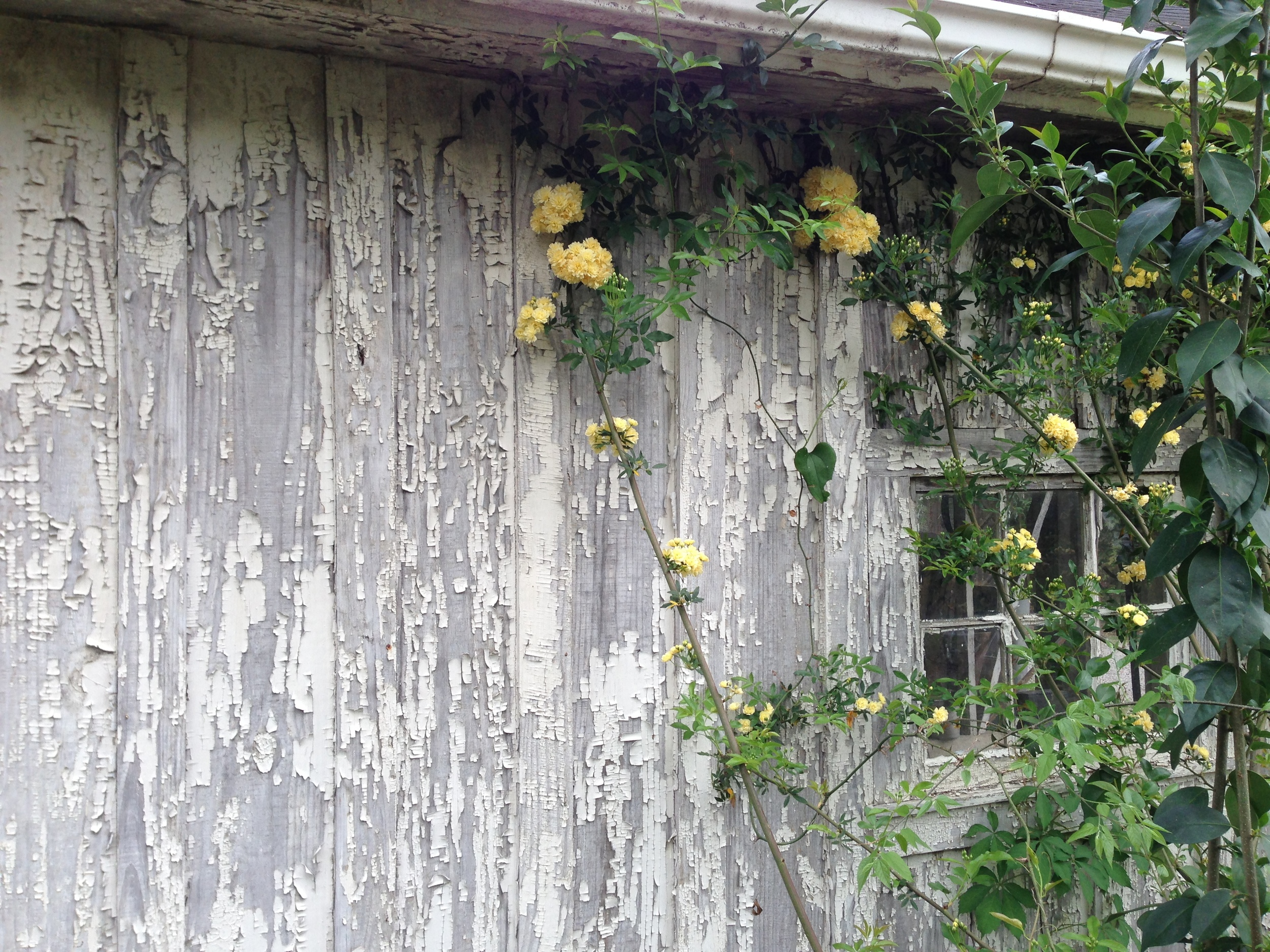 Lady Banksia Rose is one of the first roses to bloom.