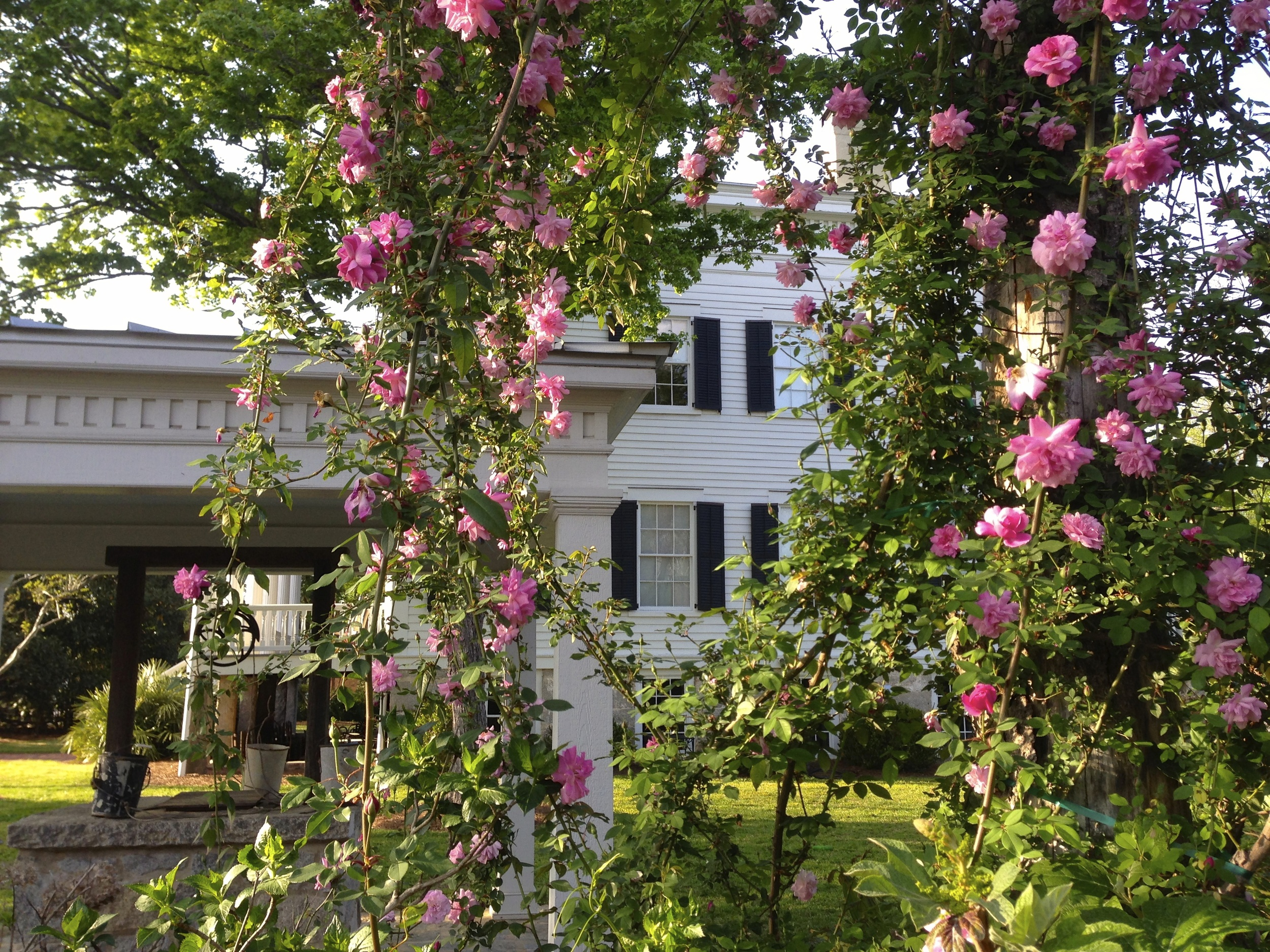 An antique rose, Old Blush, is a climber that is early to bloom and was the last rose blooming last fall.