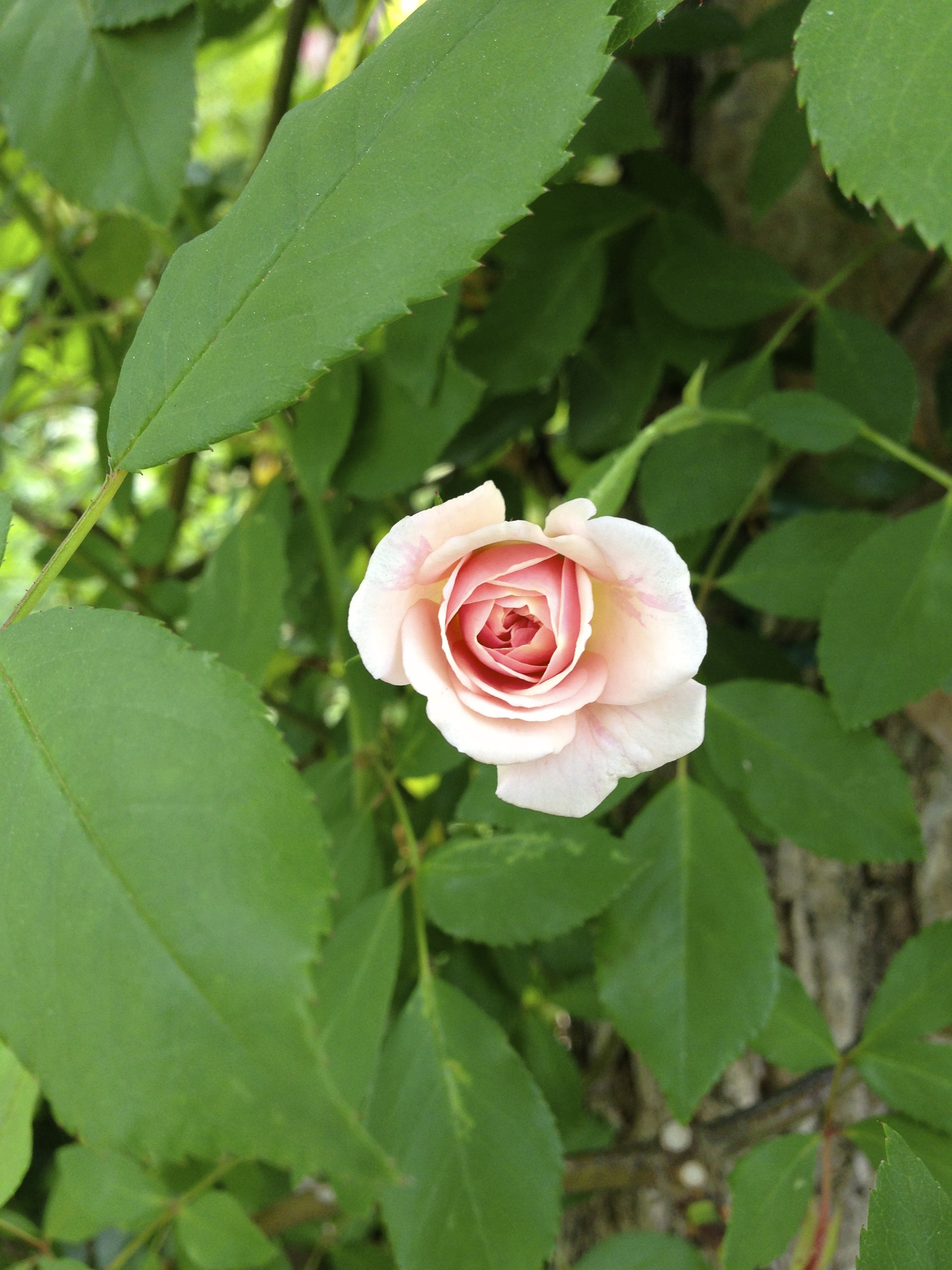 Another one of our old climbing roses.