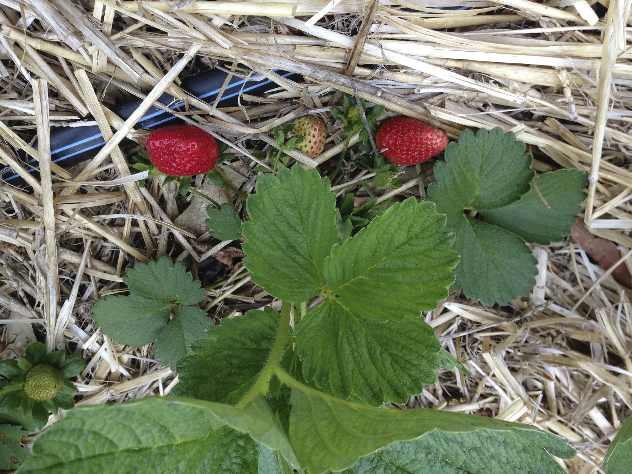 Oh boy! Here come the strawberries.