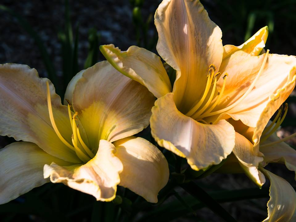 Wonderful, wonderful day lilies make me feel happy just looking at them.