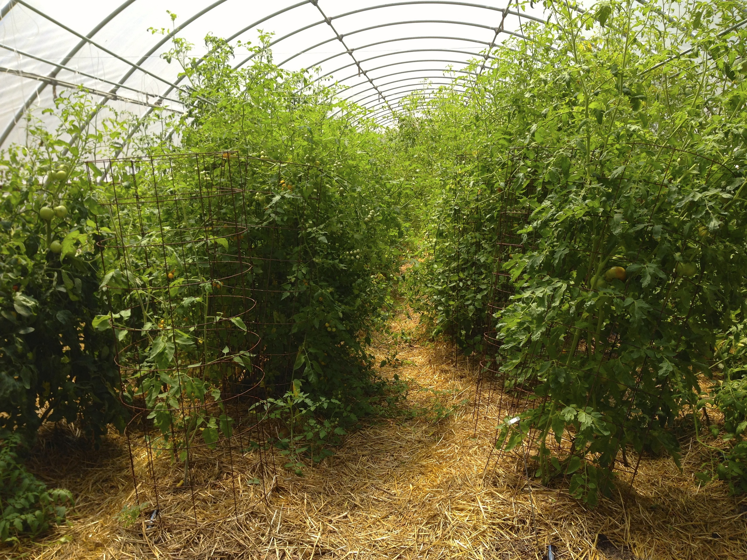 You can't capture with a camera how full this 30' x 96' hoophouse is of various tomato varieties. They were the first planted in this relatively warm environment when it was still cool outside. Walk between the rows now and you are covered with yellow from all the tomato pollen.