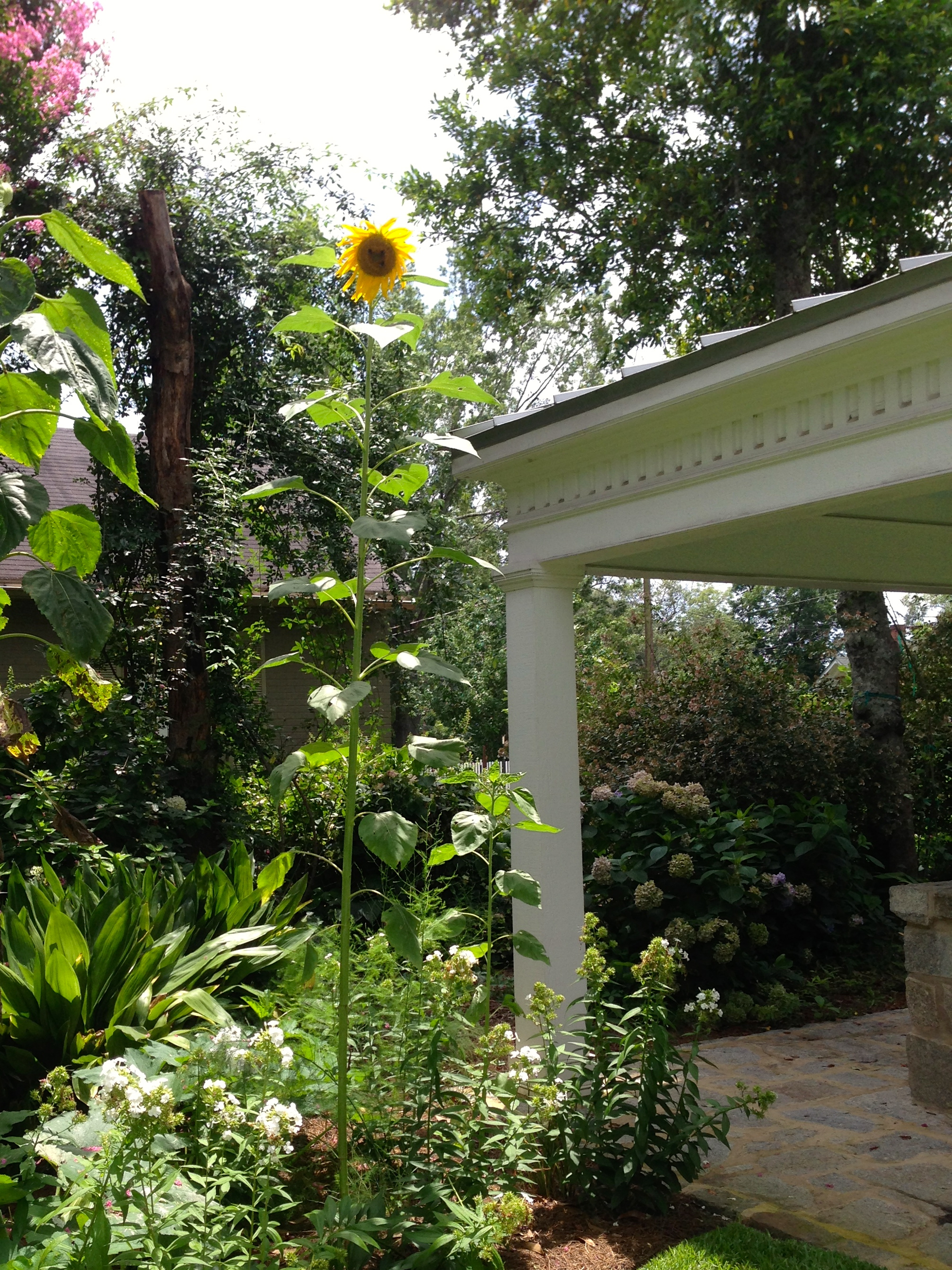 This sunflower has surpassed the height of the old well house as it seems to reach for the sky.