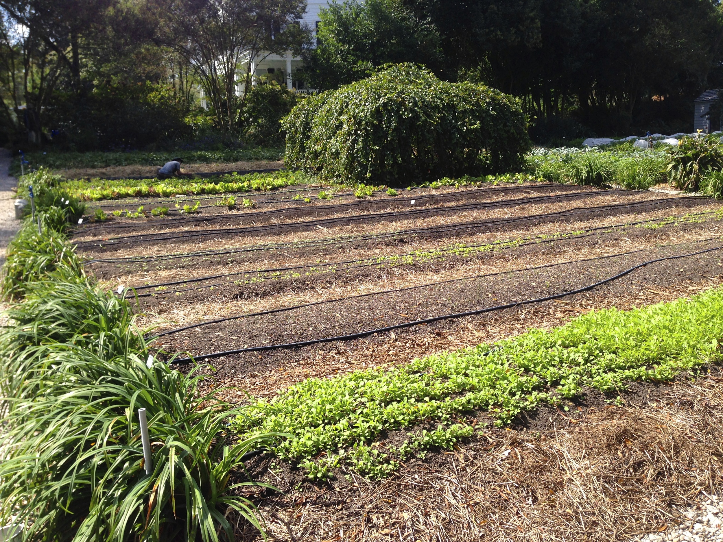 New rows for lettuces, some just seeded and some already producing.