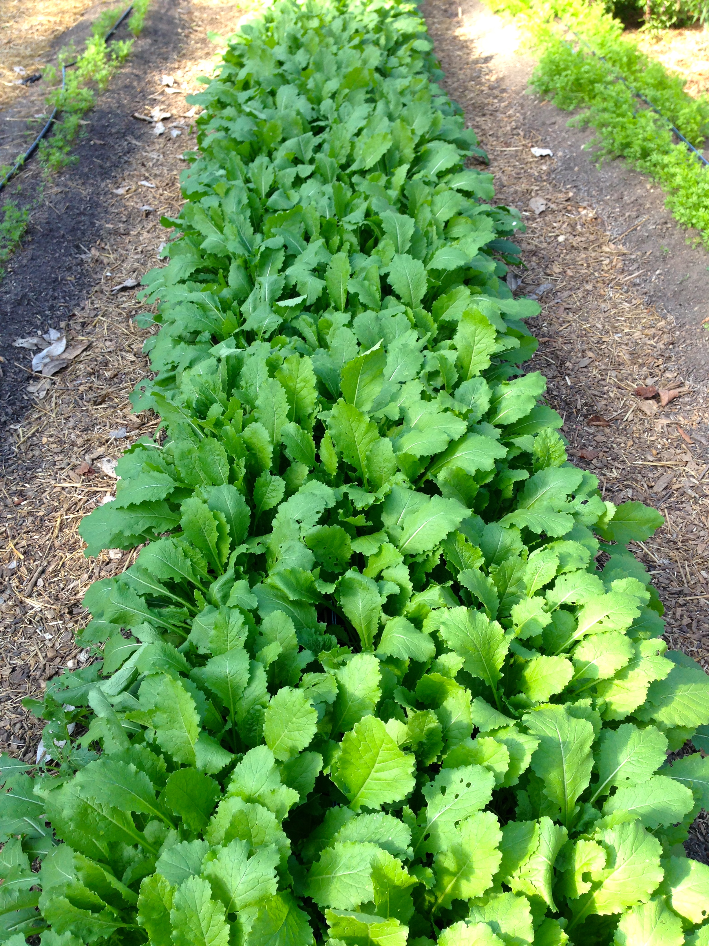 Beautiful, beautiful turnip greens with white sweet Hakuri Turnips forming underneath them.