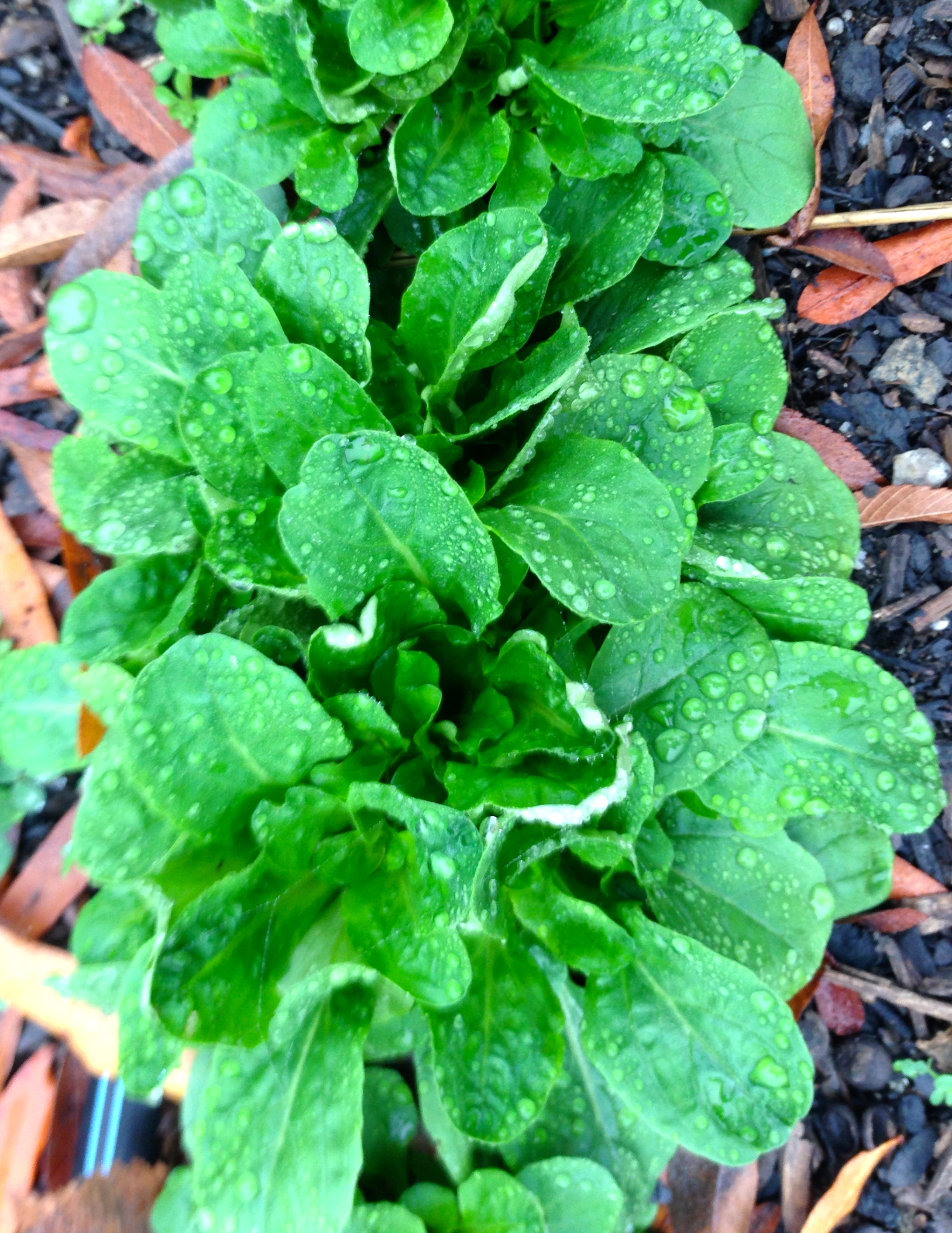 A row of mache or corn salad sparkles on a rainy day. This green has been cultivated in France for hundreds of years and provides a hearty green in winter salads.