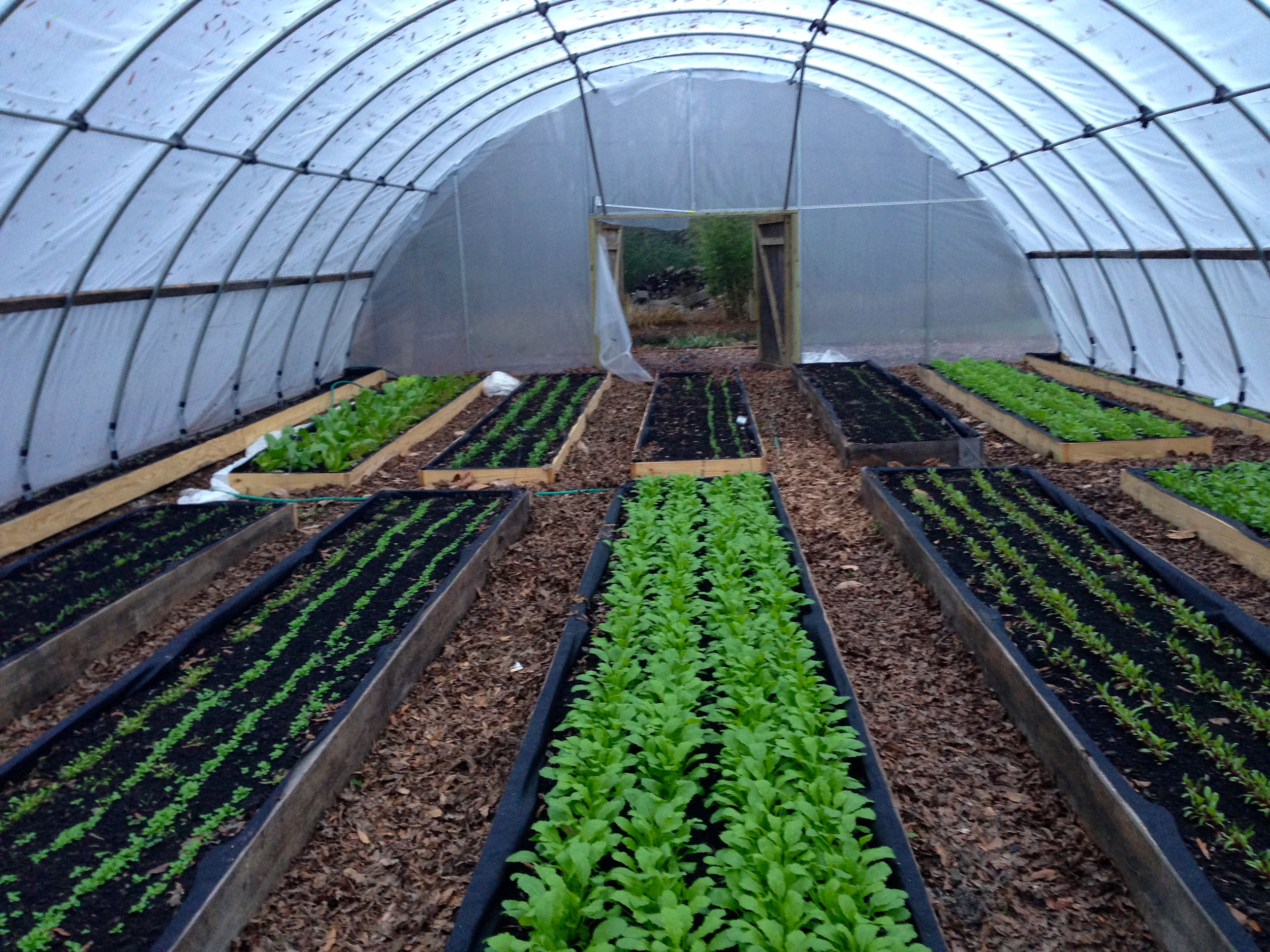 This hoop house has raised beds where lettuce transplants from our seed house have been used as well as directly seeded rows of more lettuces.