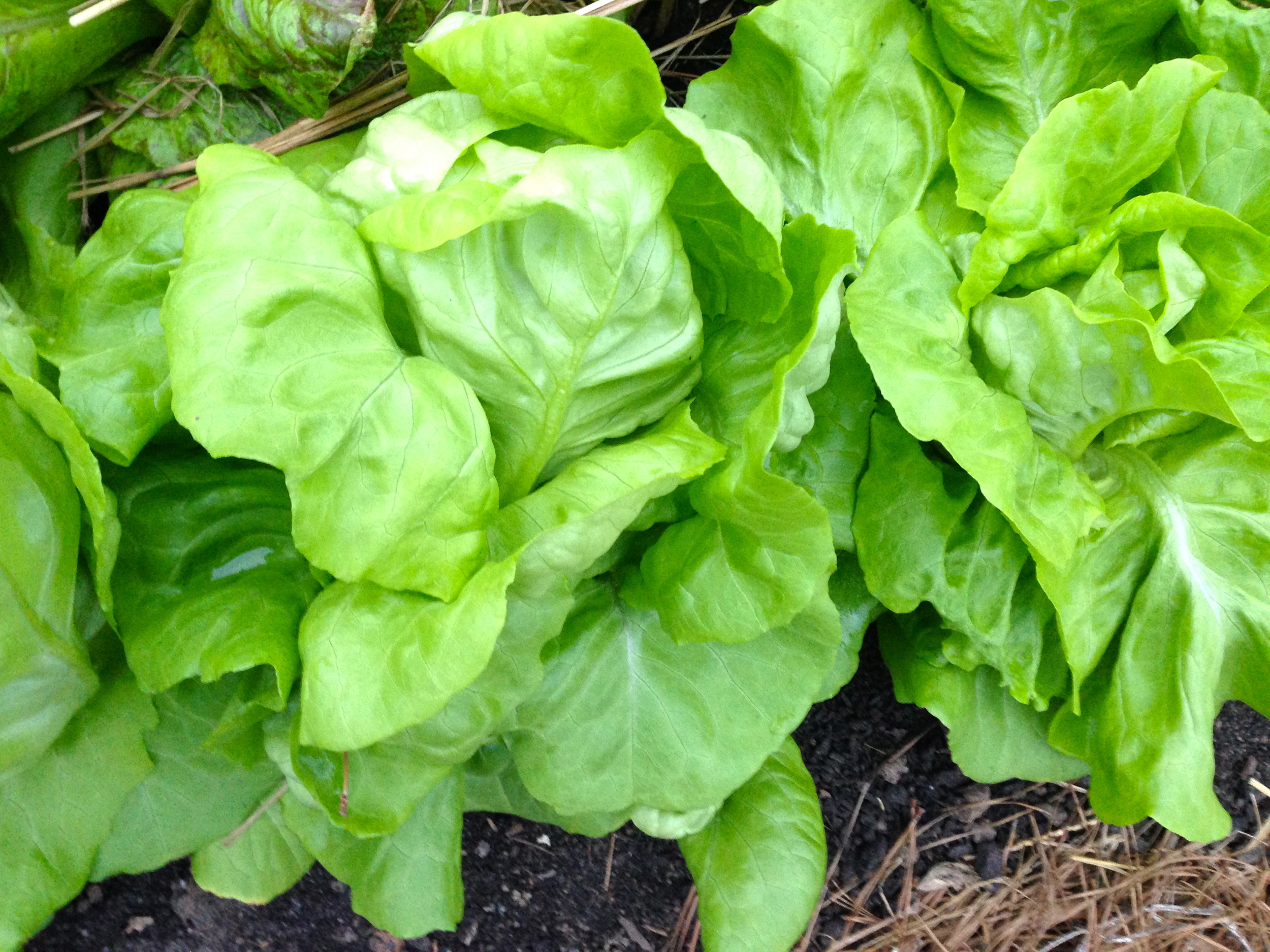 """This close-up shows the nicely formed heads of a """"butter lettuce"""" type. I've always thought this lettuce was appropriately named as it has a rich flavor and """"buttery"""" texture to its leaves."""