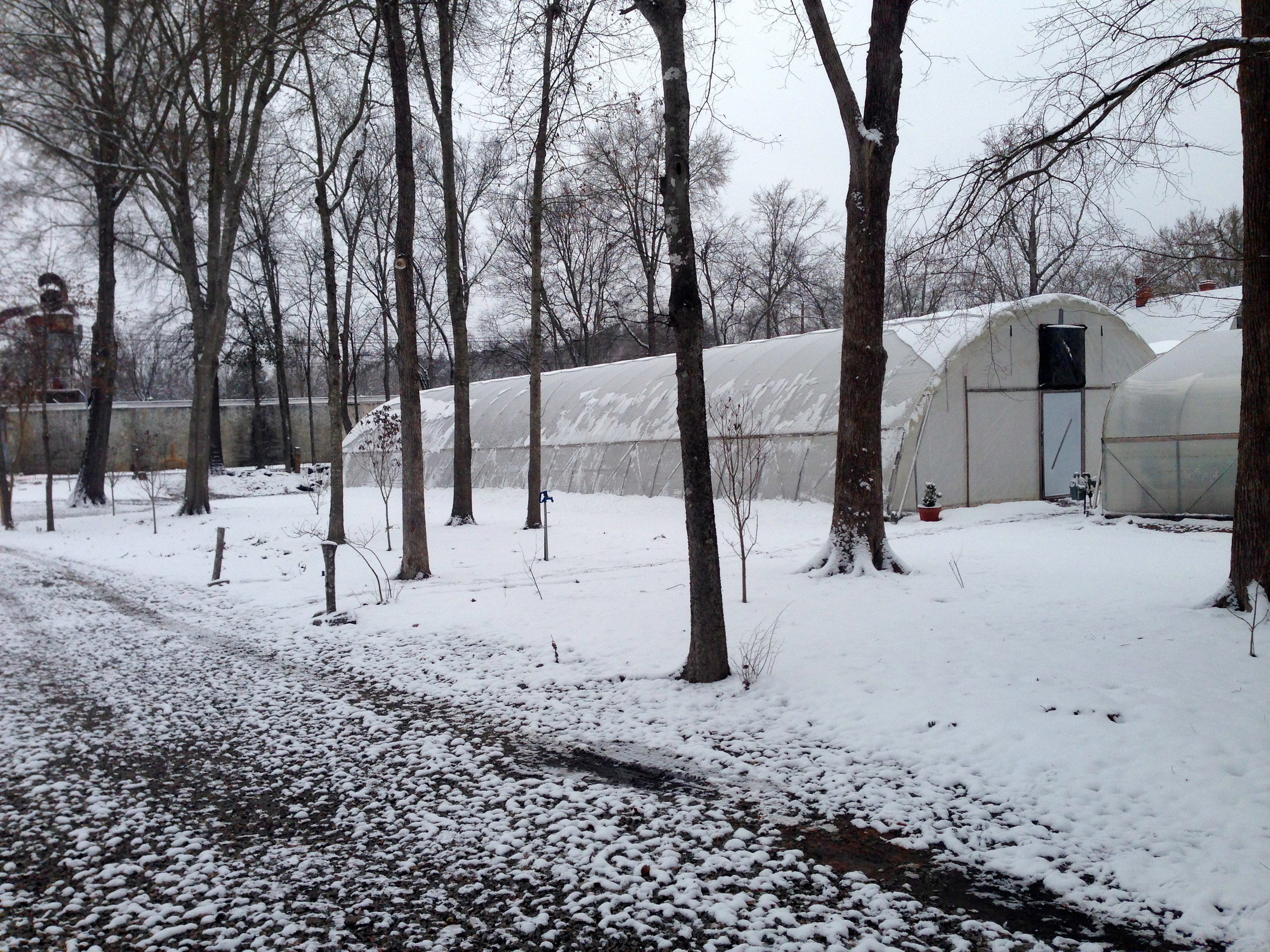 Snow is already starting to slide off the hoop house structures. The area under the trees should be filled with daffidils soon.