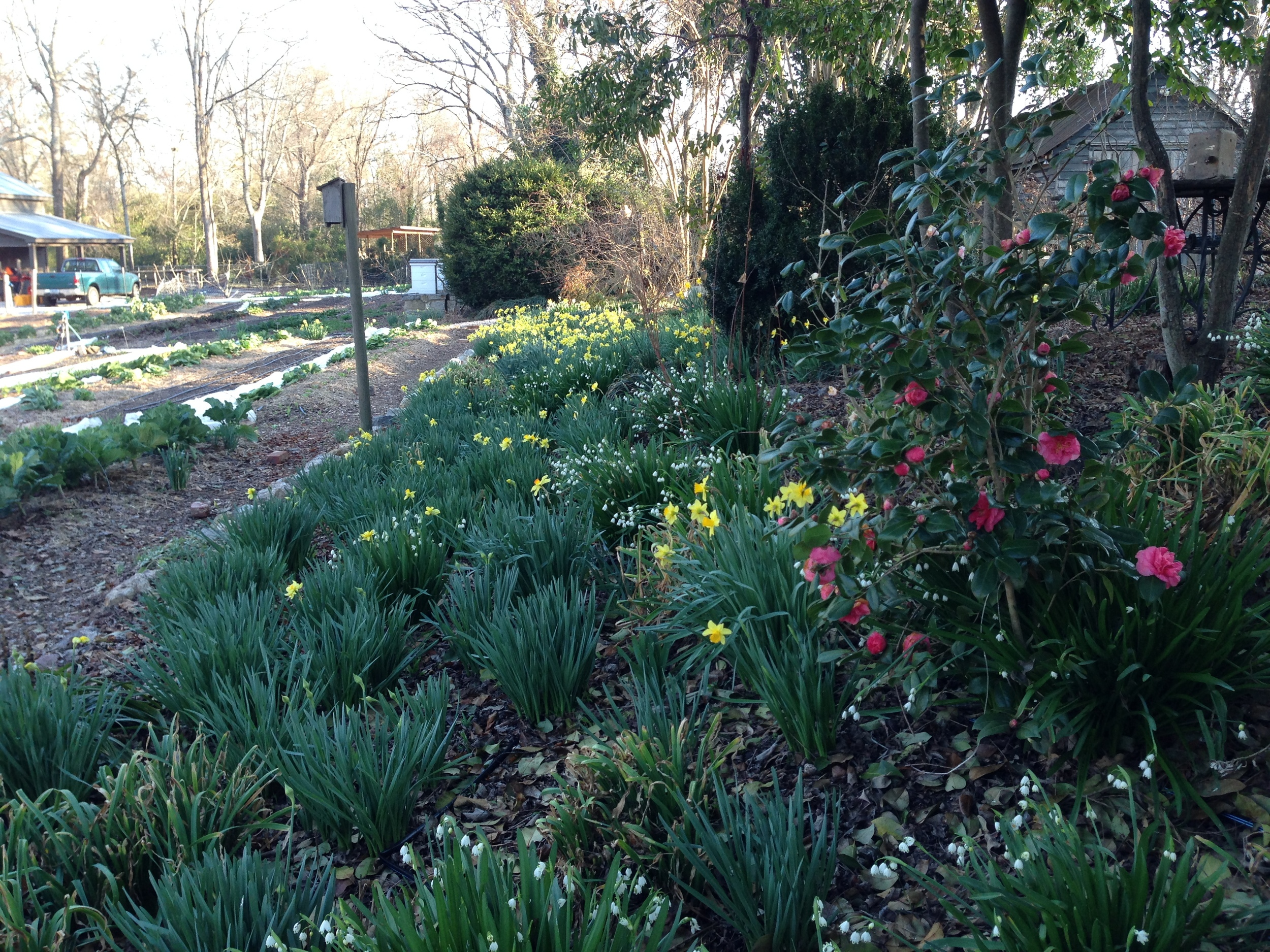 The bulbs on the flower bank start to show their spring colors.