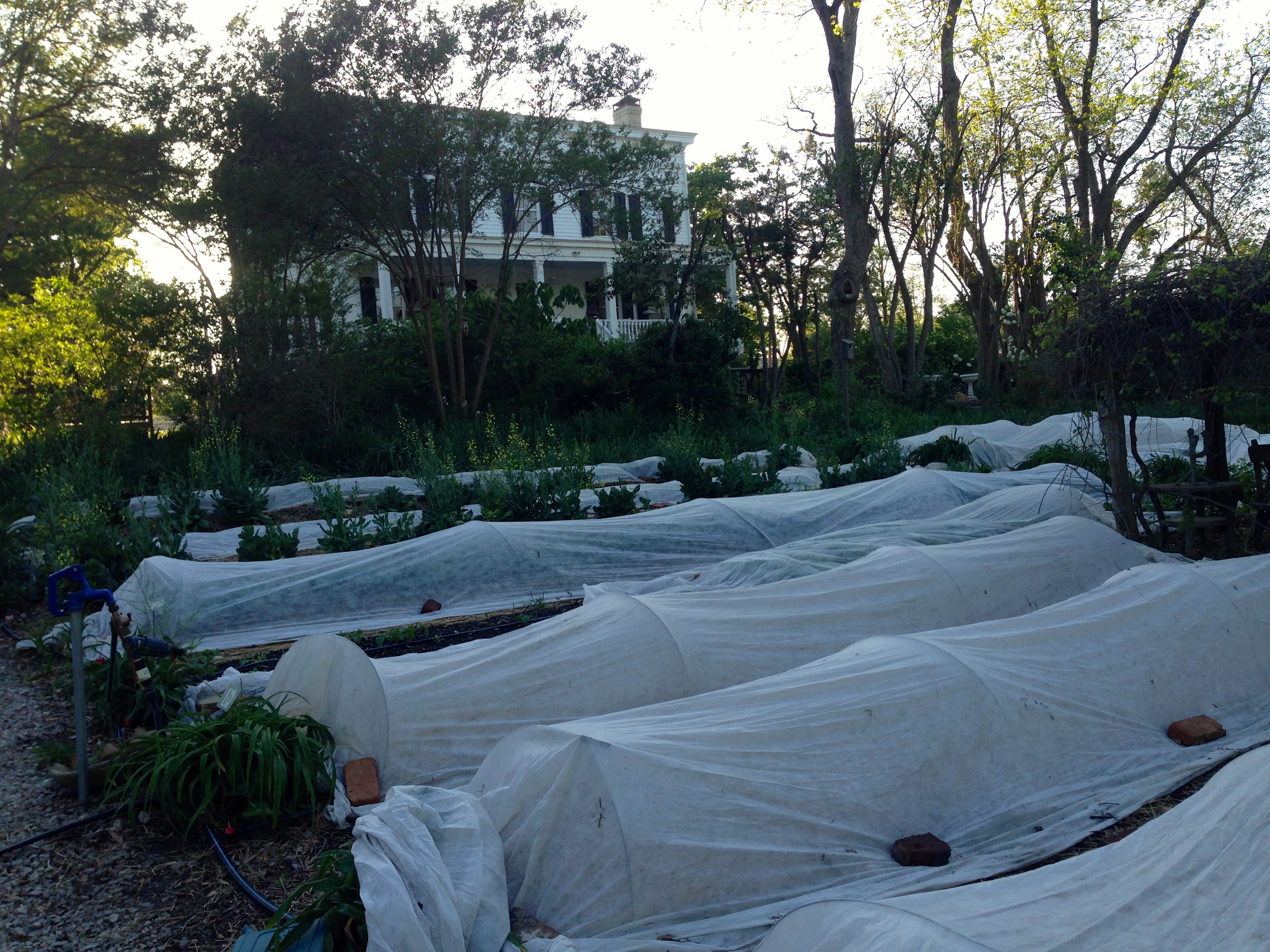 Strong winds attempt to lift the row covers, but they are secure!