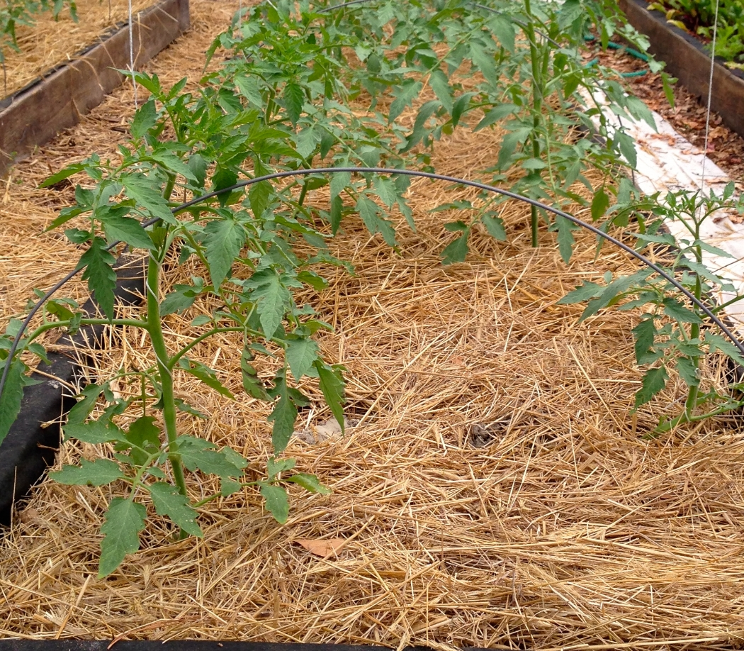 Some of the first tomatoes planted in the hoop houses are taking off and will be fine during the cold spell in this warm environment.