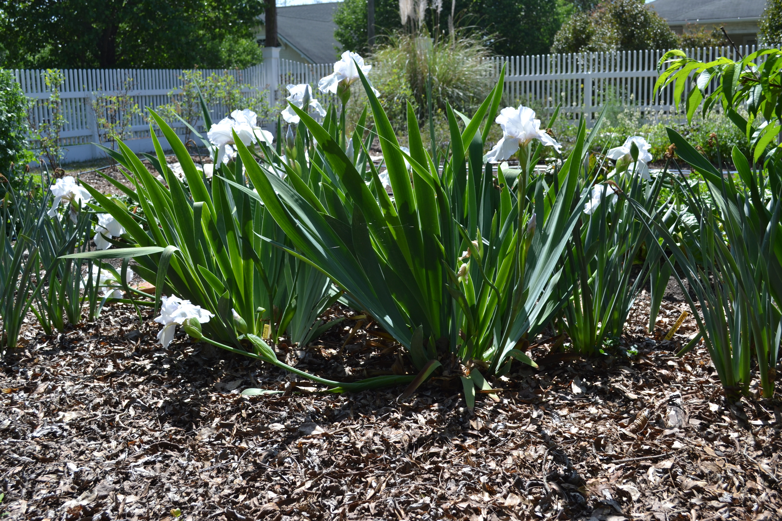 White iris are generally the first of the iris to bloom.