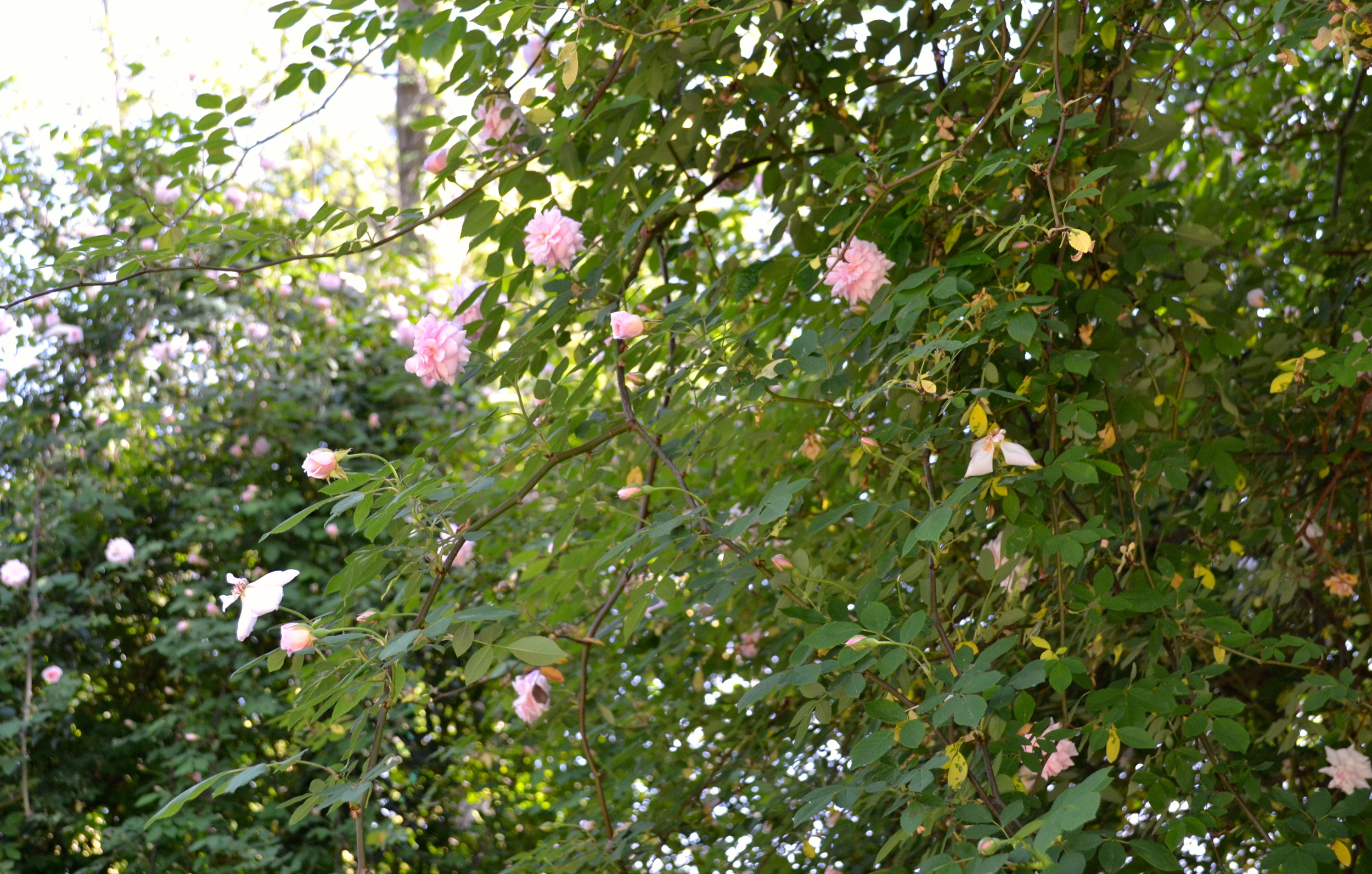 Heirloom roses are favorites on Elm Street.