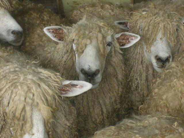 waiting for shearing.jpg