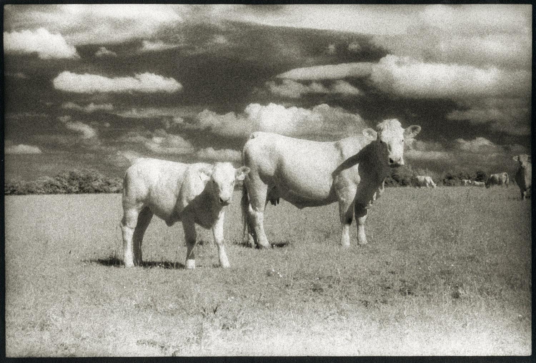 Cows Infrard France.jpg