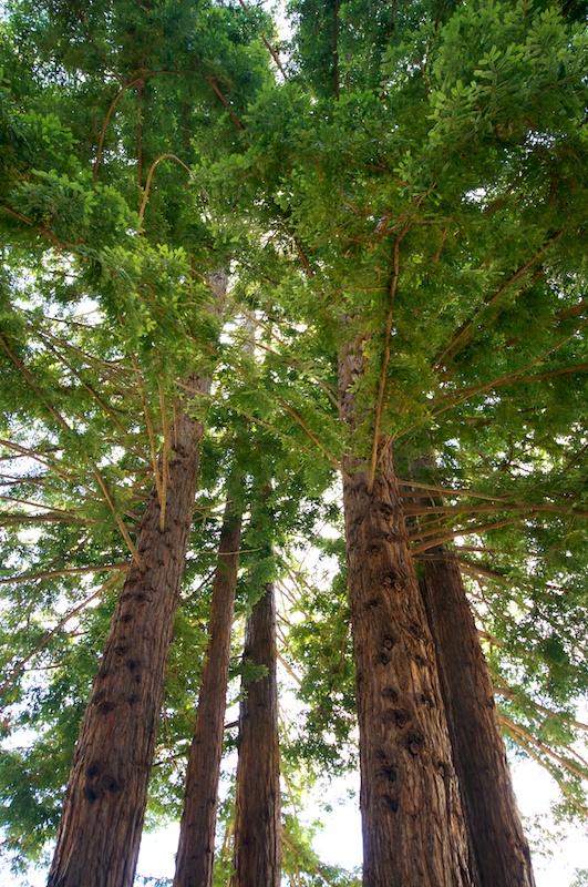 big_sur_trees.jpg