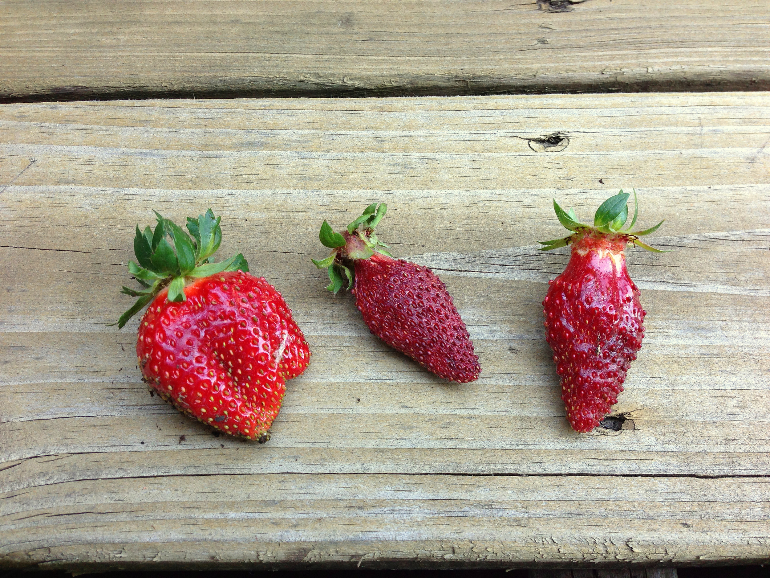 strawberry-harvest.jpg