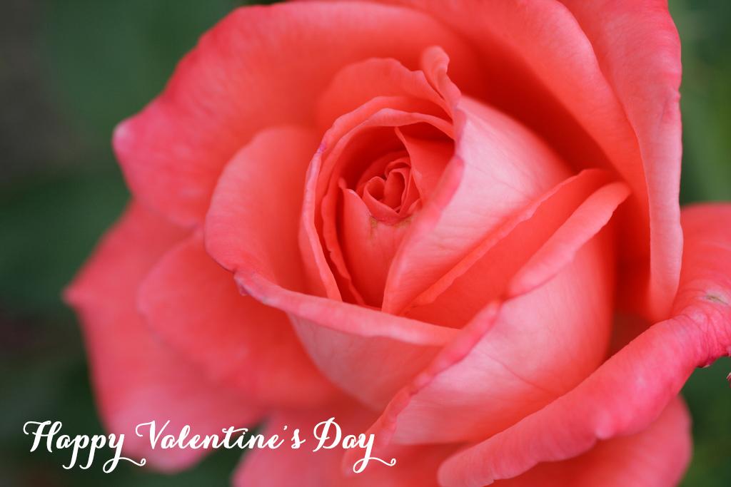 ValentinesDayRose.jpg