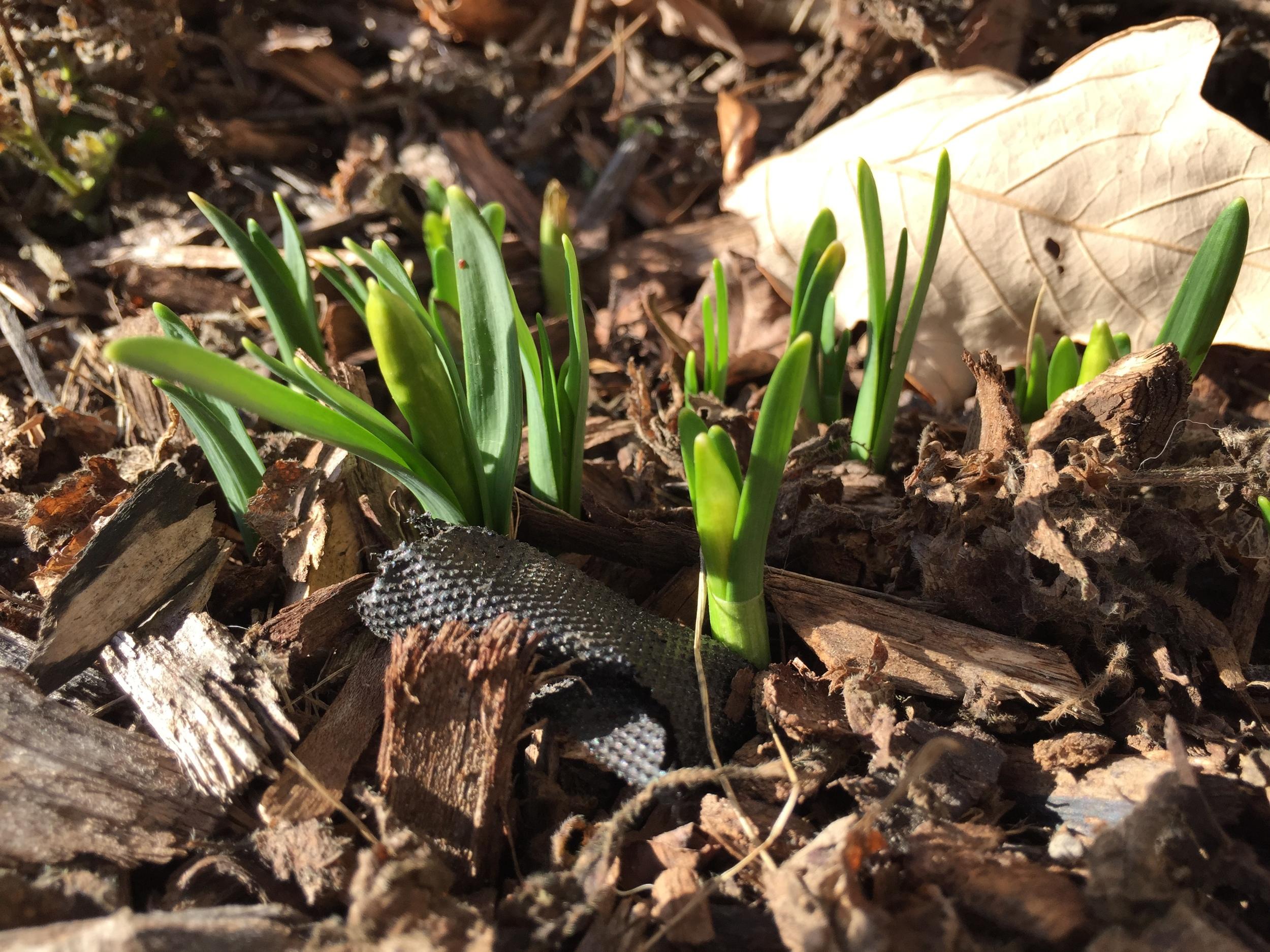 early spring mini daffodil