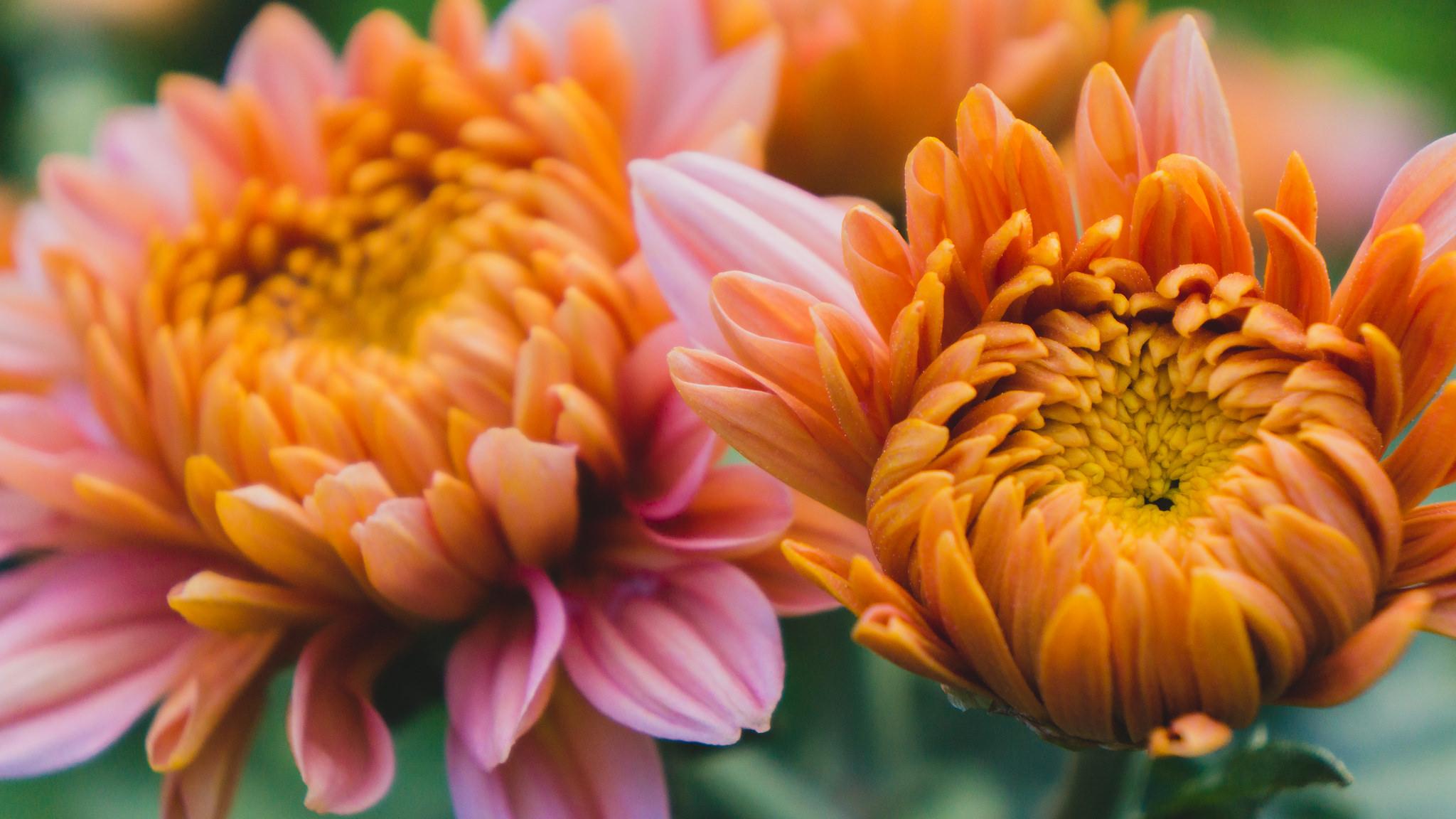 Fall Color Dahlia