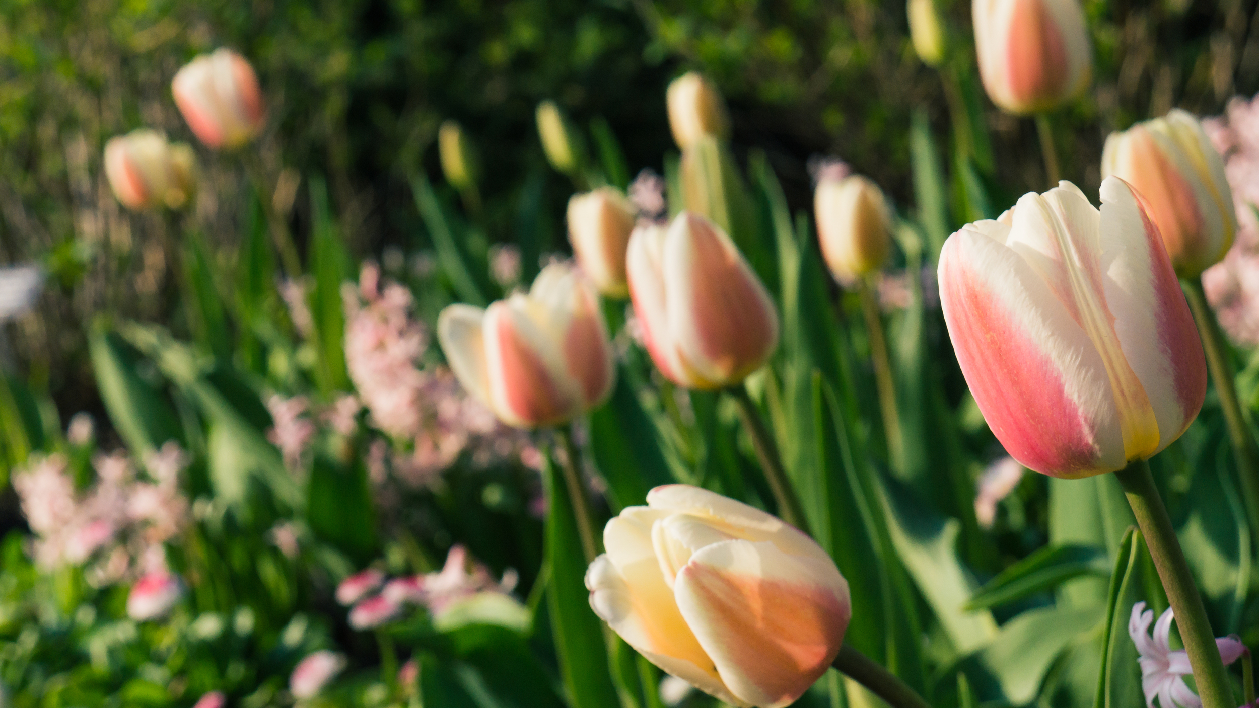 Spring Tulips at the Chicago Botanic Garden