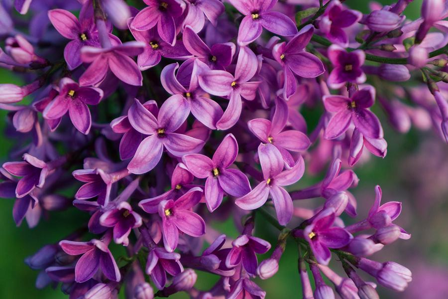 aprilbern-lilac-photography