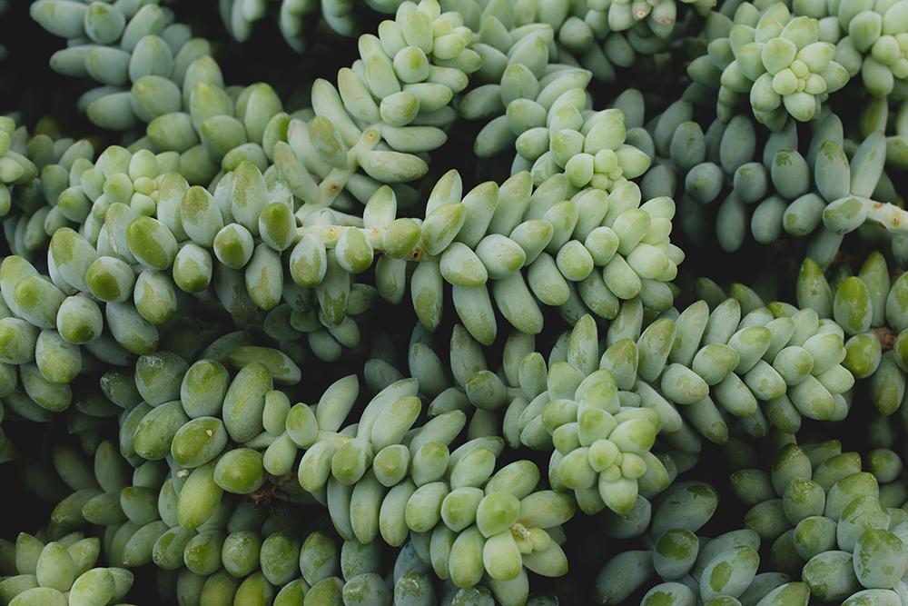 Sedum Morganianium (Burro's tail)
