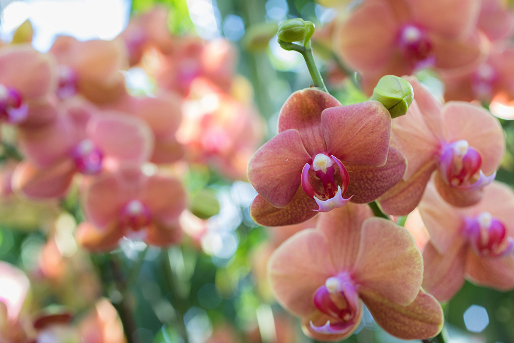 Chicago Botanic Garden Orchid Show 2017