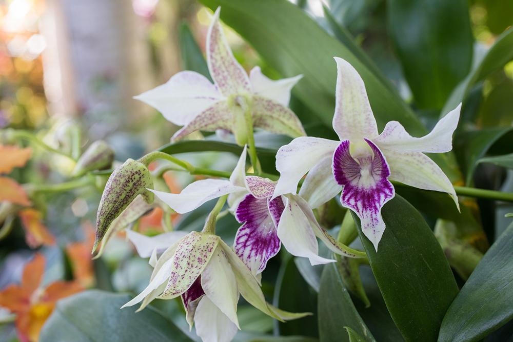 Chicago Botanic Garden Orchid Show 2017 april bern photography