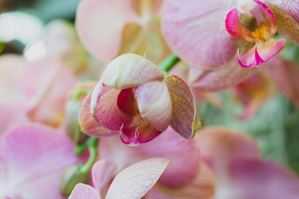 Moth Orchid - april bern photography