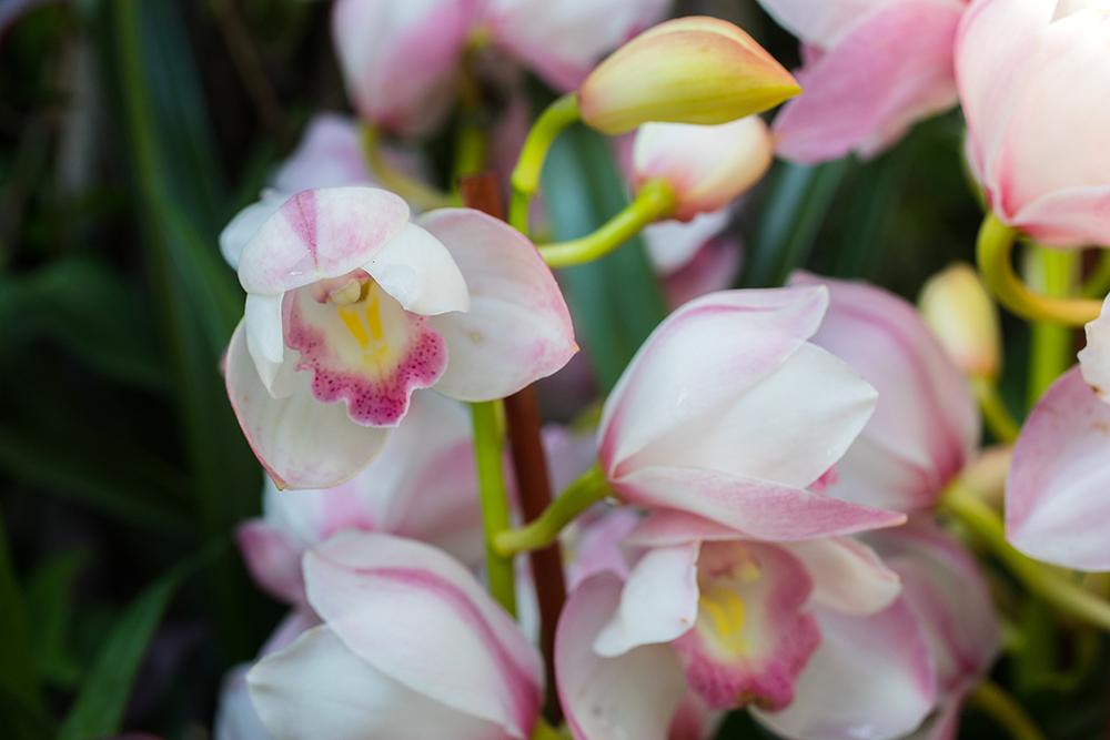 Chicago Botanic Garden 2017 Orchid Show