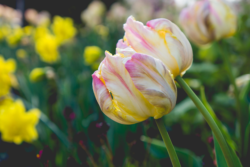 spring tulips by april bern photography