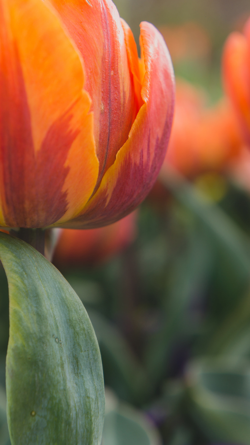 Flame Orange Tulip by april bern