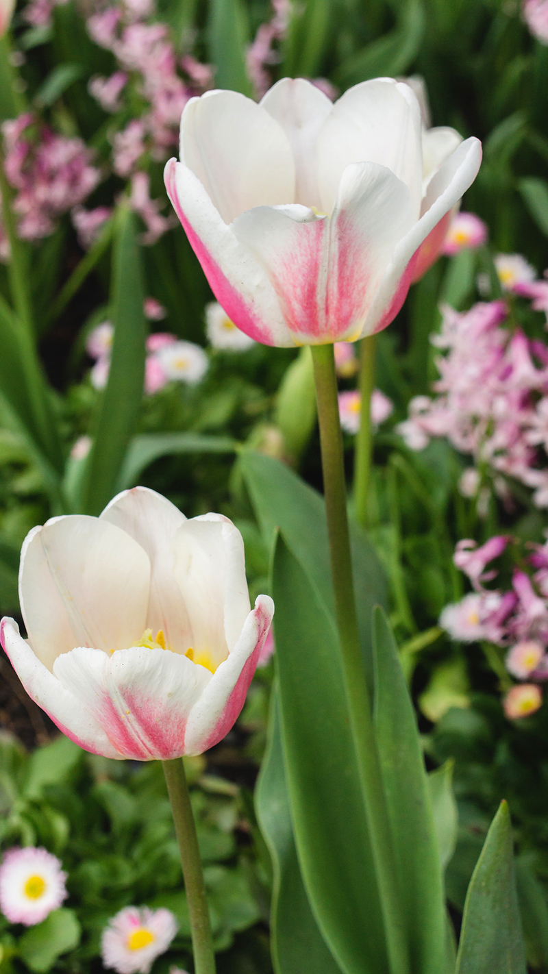 Pink Tulips by april bern