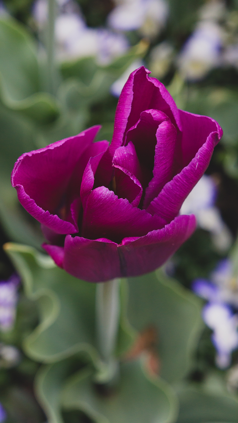 Purple Tulip Art Photo by april bern