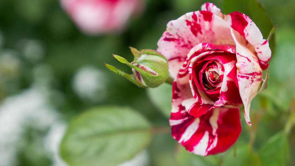 Red and White Rose by april bern photography